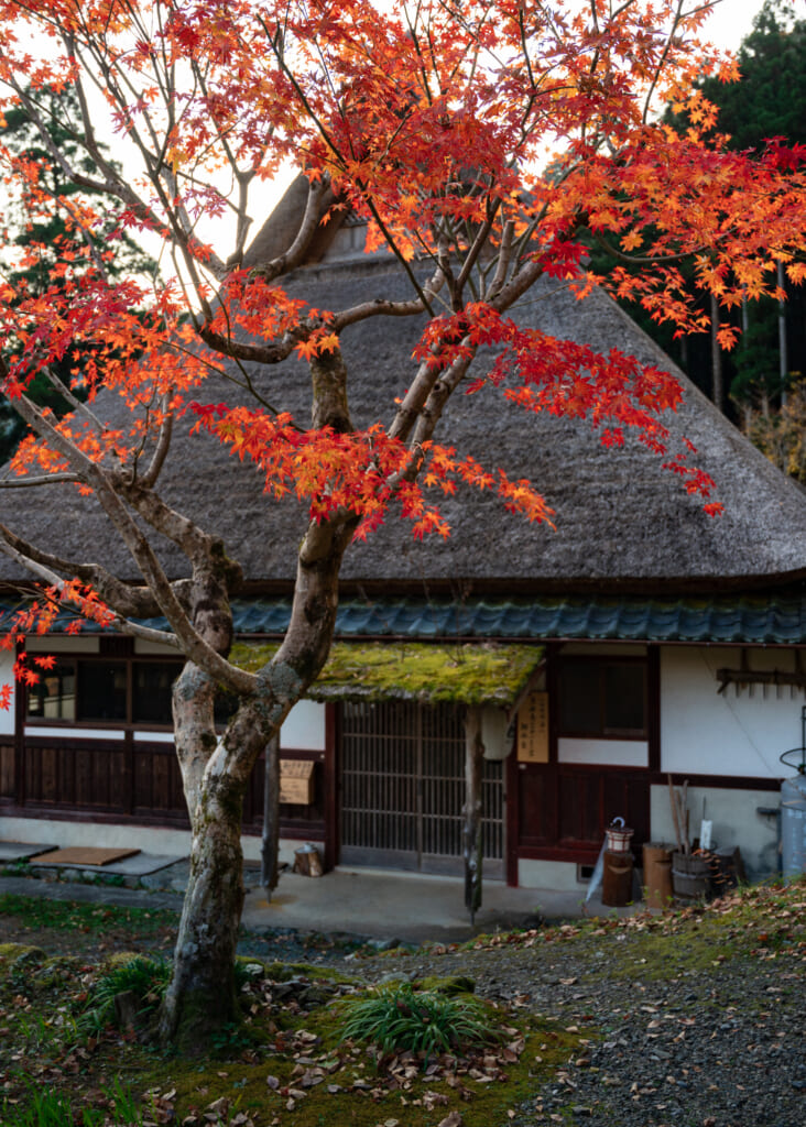 autumn leaves in front of traditional Japanese thatched roof house in kayabuki no sato