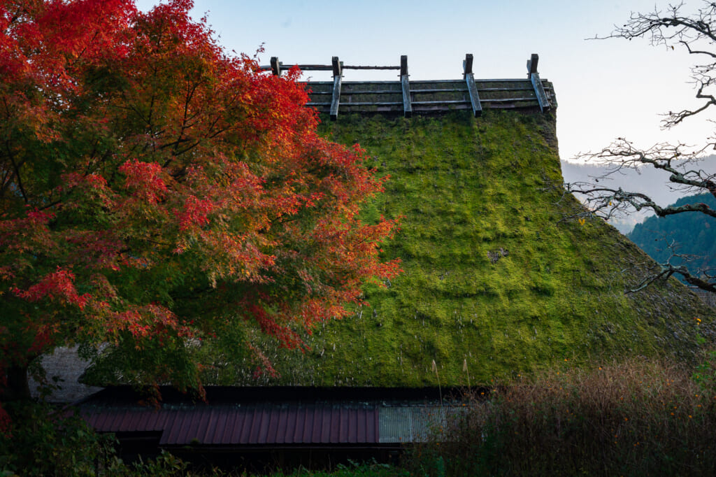 green moss growing on Japanese thatched roof house in kayabuki no sato