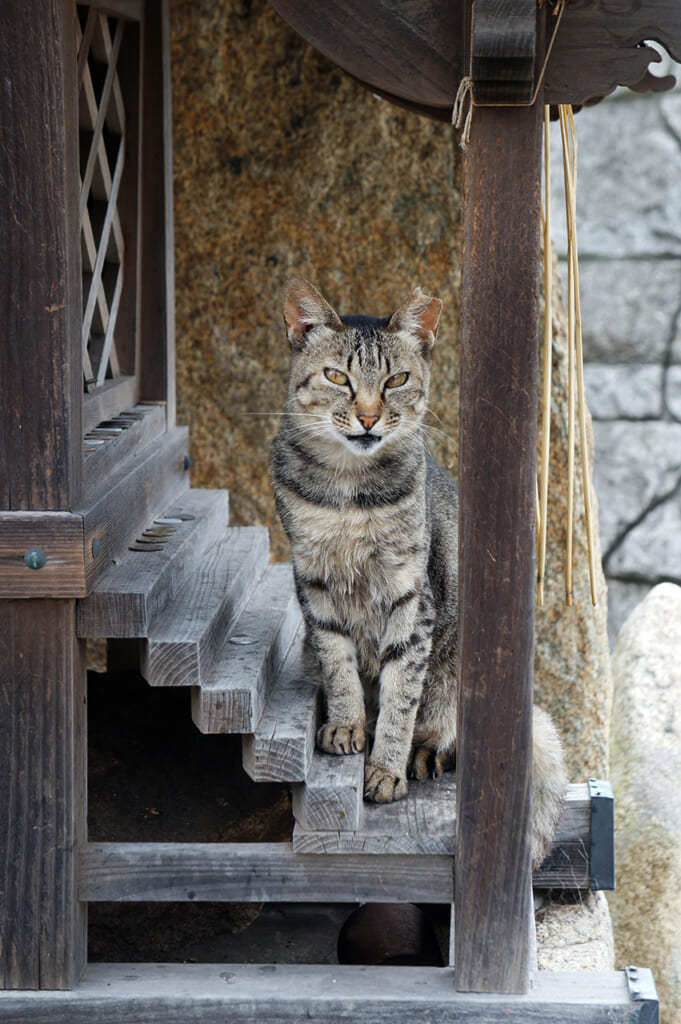 Tortoise shell cat in a traditional Japanese wooden temple on Manabeshima, a cat island in Japan