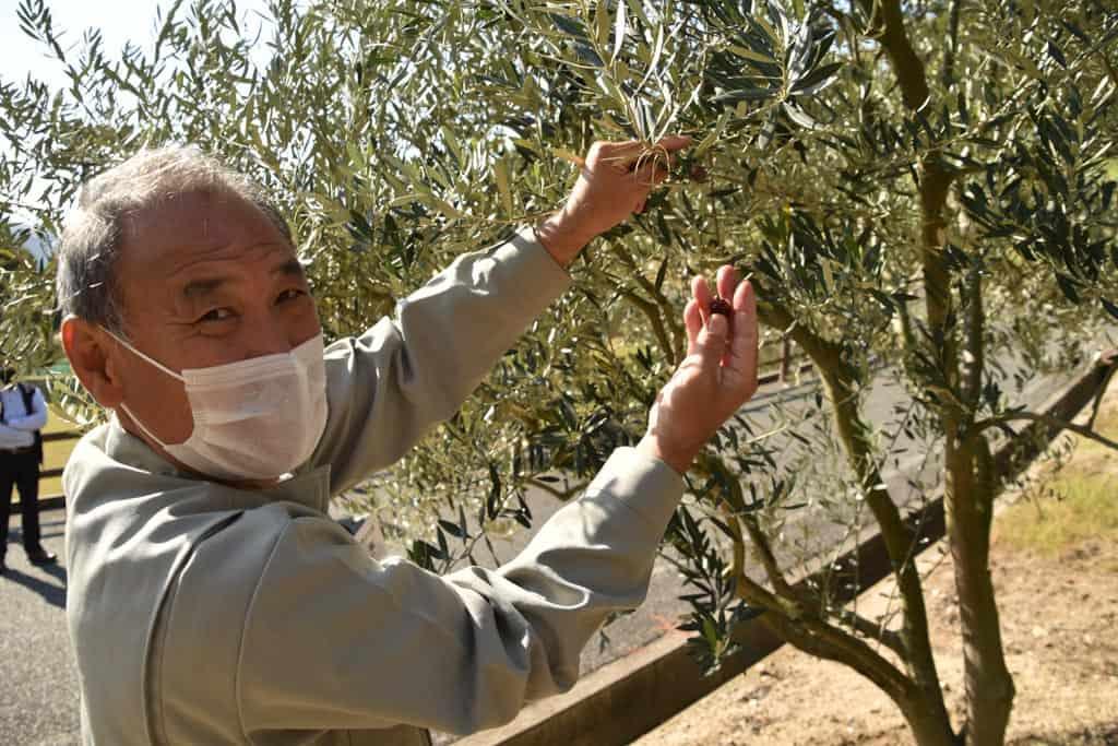picking local olives on Shodoshima, Shikoku island