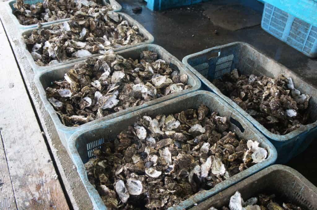 Sado Island Shells of Oysters Caught from Lake Kamo
