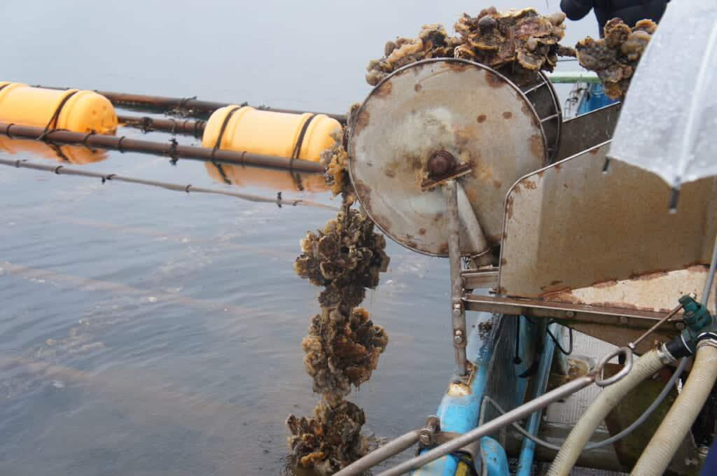 Sado Island oyster farming on Lake Kamo