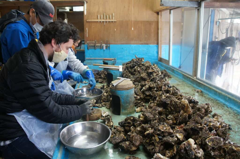 Sado Island guests separate oysters at an oyster farm on Lake Kamo