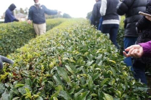 Sado Island's traditional Japanese farming community and tea plants