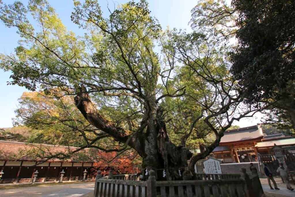 Ancient Cedar at Oyamazumi Shrine Entrance