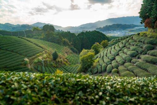 green tea field at at Kyoto Obubu Tea Farms, Wazuka