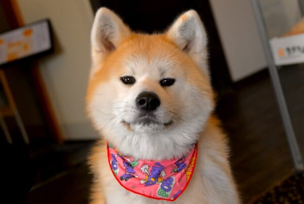 The Akita Inu belongs to the Japanese dogs..
