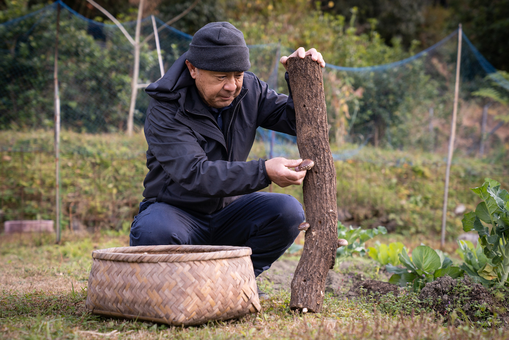 Mr. Ogura harvests mushrooms from a log