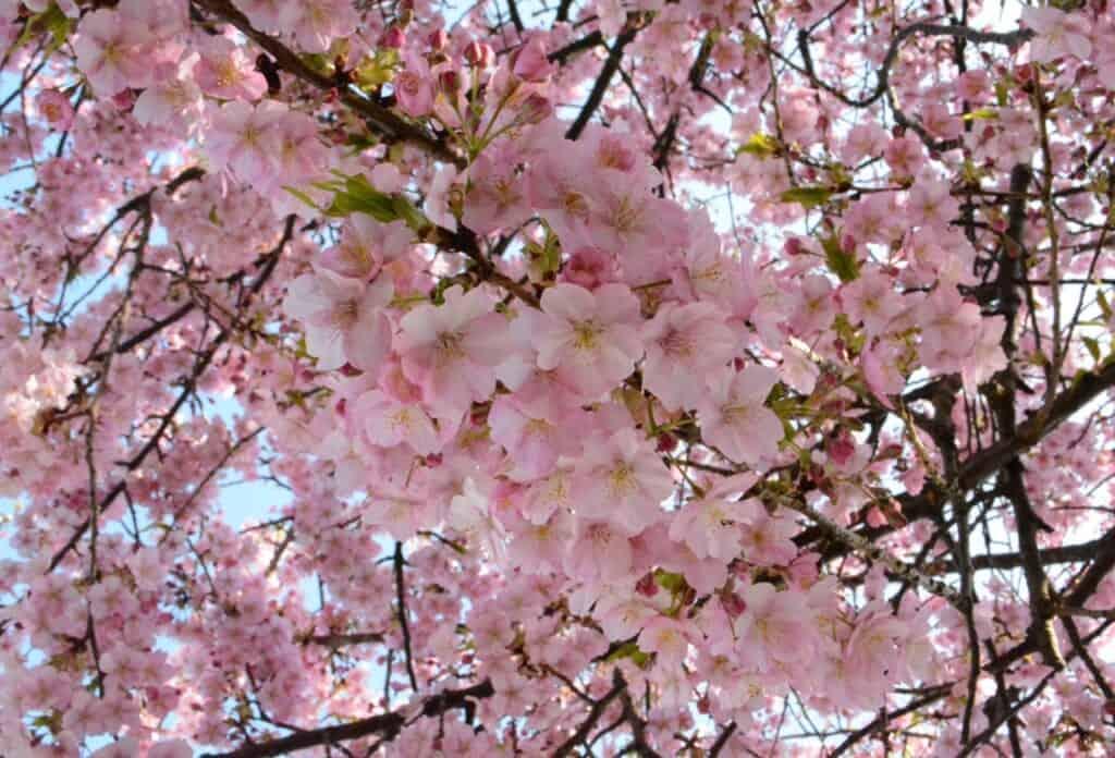 Kawazu-Sakura, early cherry blossoms in Japan