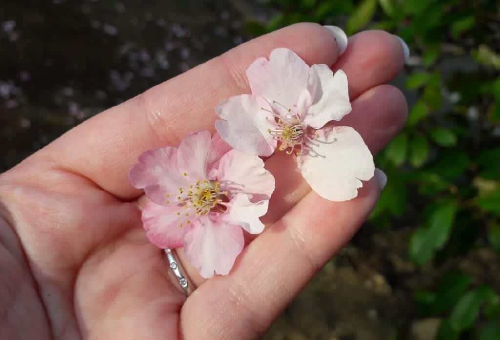 Details of Kawazu-Sakura, early cherry blossoms