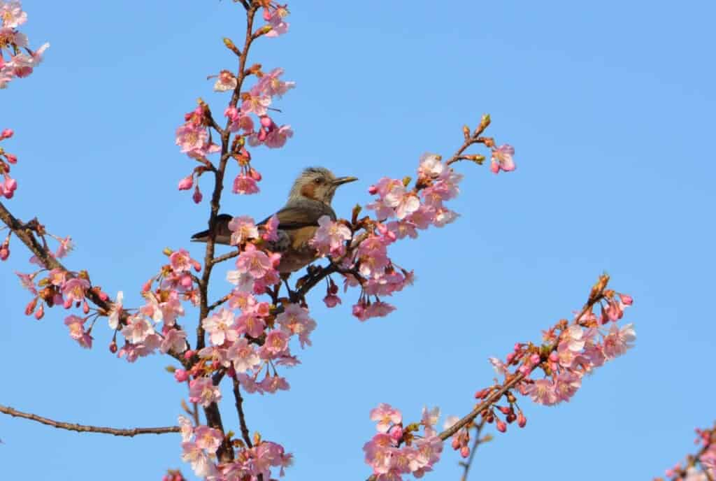 A bird between the early cherry blossoms in Japan
