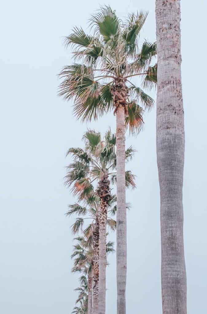 Palm trees at SENNAN LONG PARK