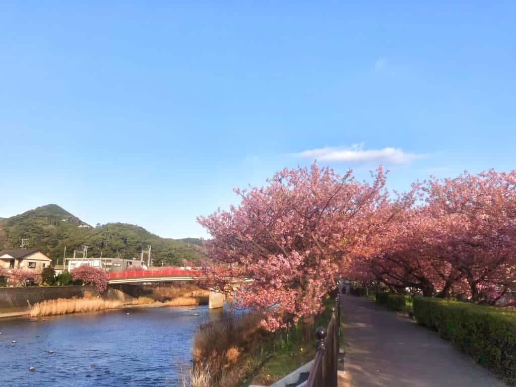 Kawazu-zakura in Shizuoka Prefecture