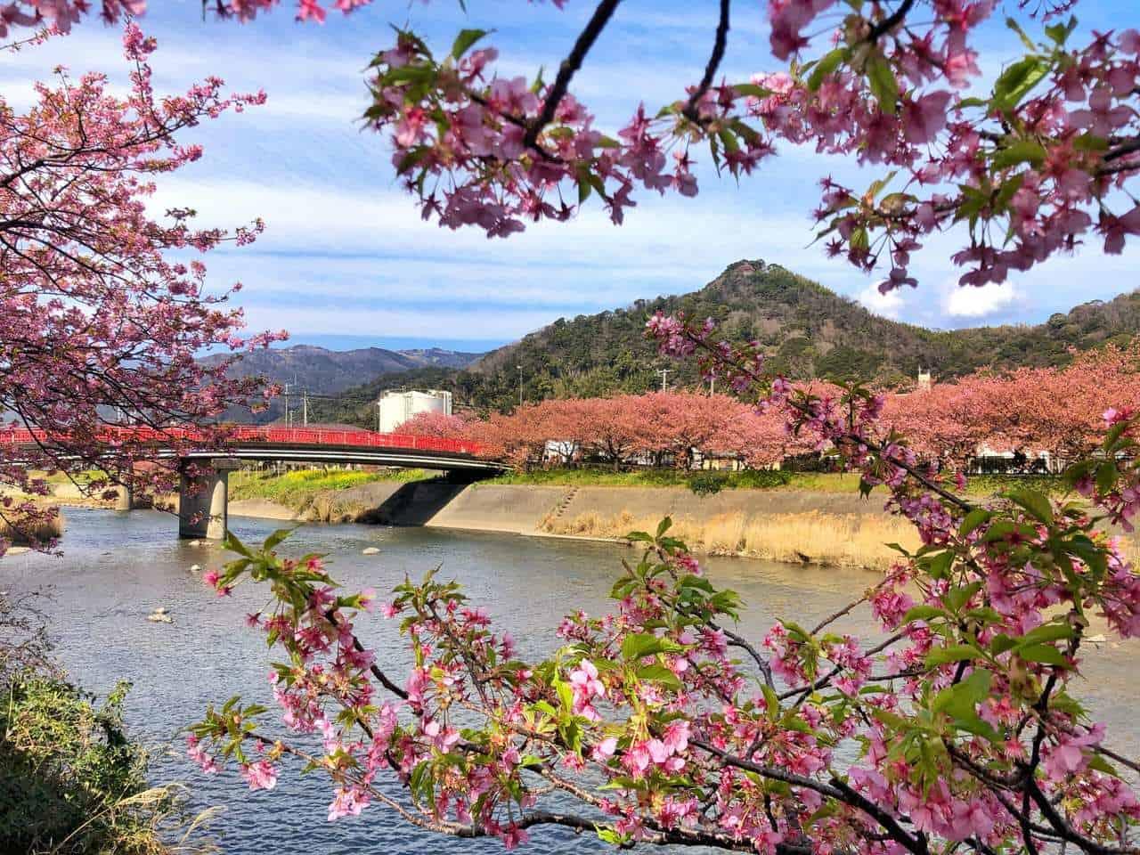 Early Cherry Blossom Viewing Near Tokyo in Kawazu, Shizuoka