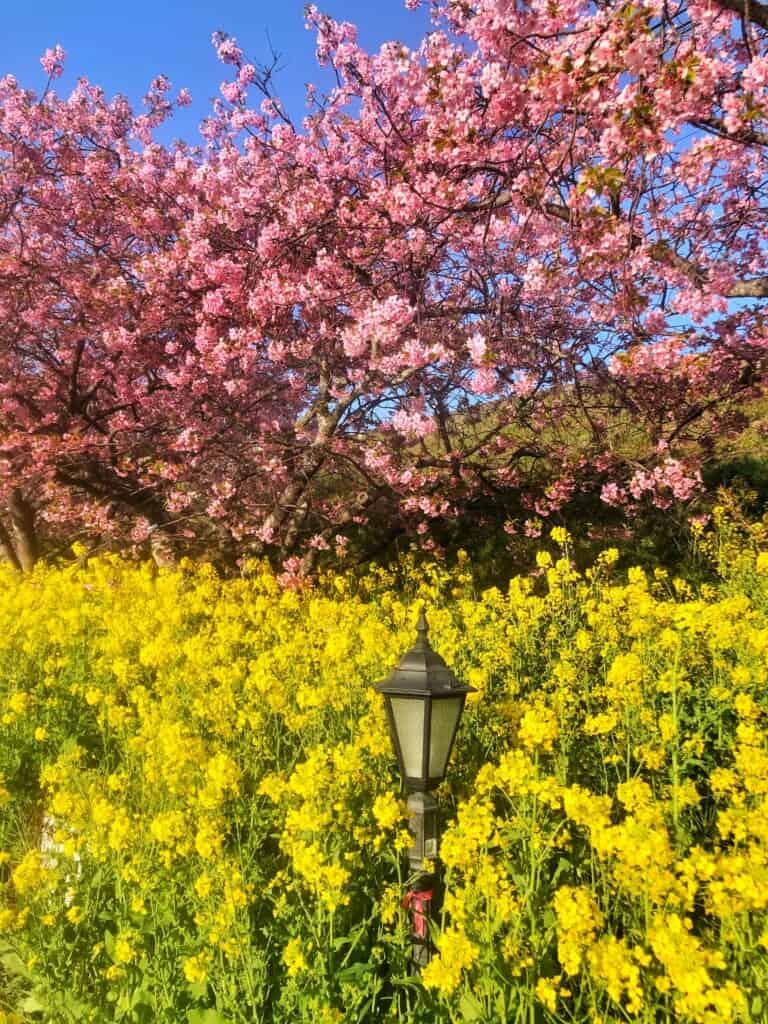 Kawazu-zakura cherry blossoms and nanohana blossoms in Shizuoka Prefecture near tokyo