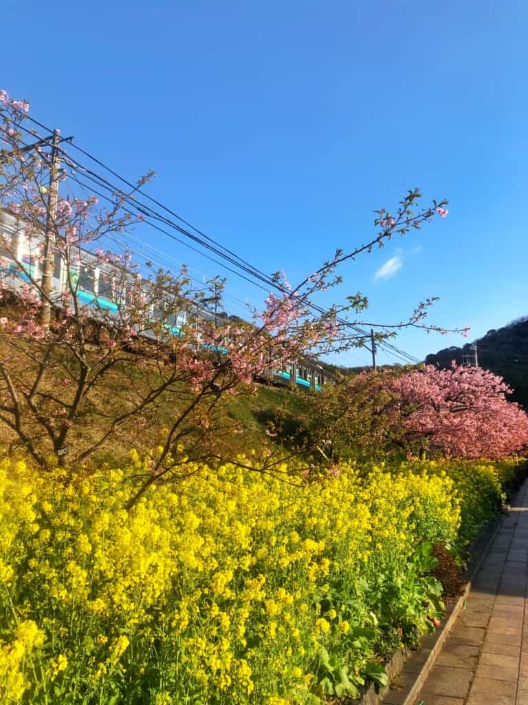 Kawazu-zakura cherry blossom in Shizuoka Prefecture near tokyo