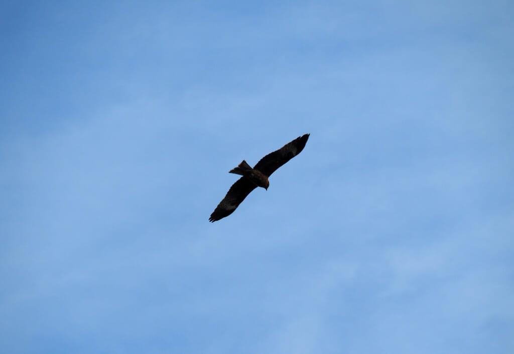 Hawk at Fukuura Beach, Ako