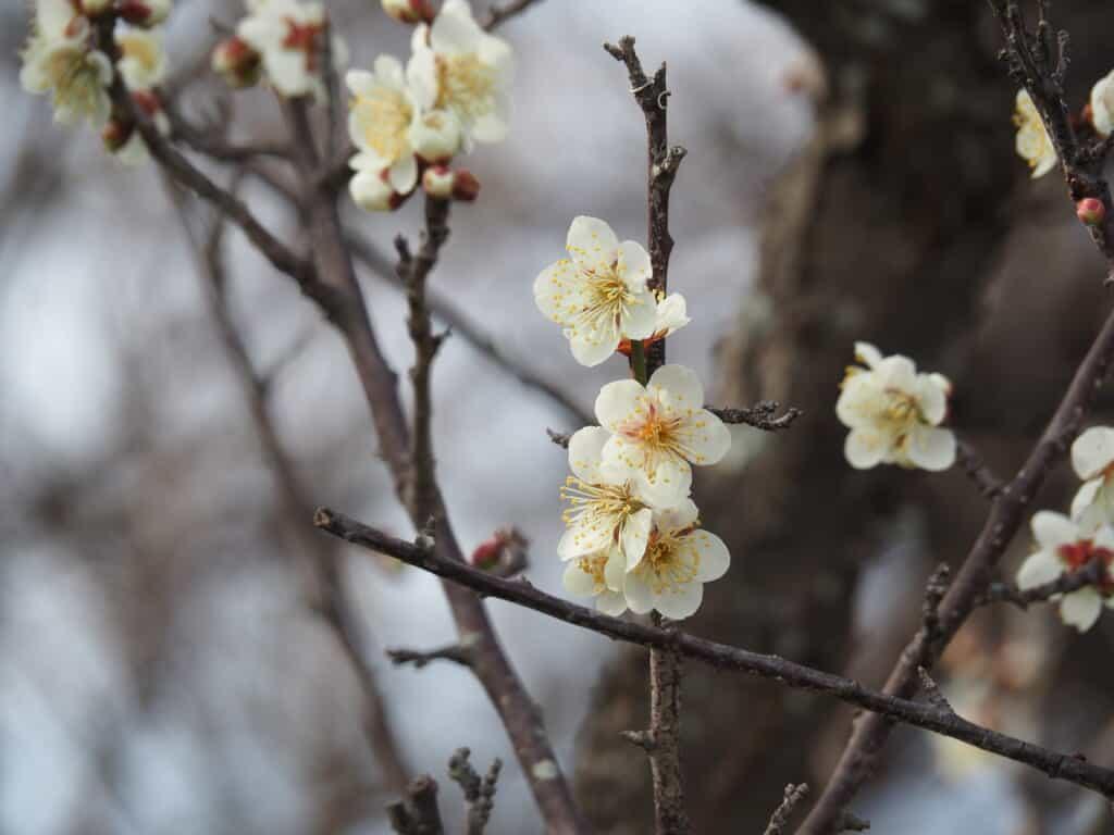 White plum blossom at Misaki Park