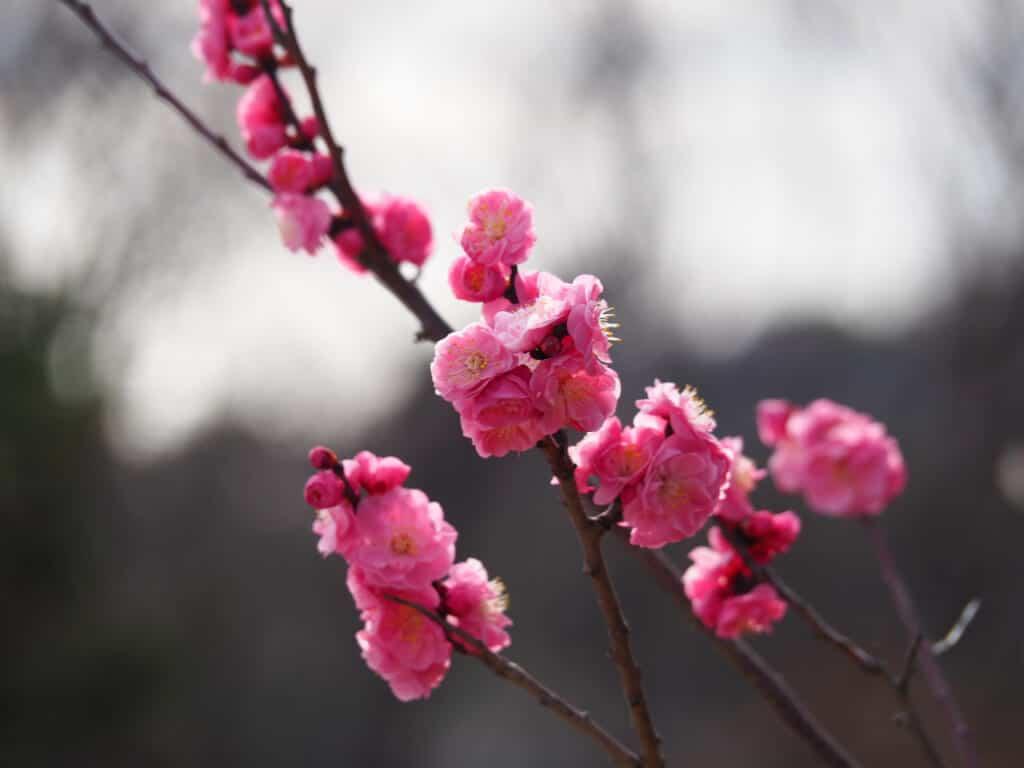 Pink plum blossom at Misaki Park
