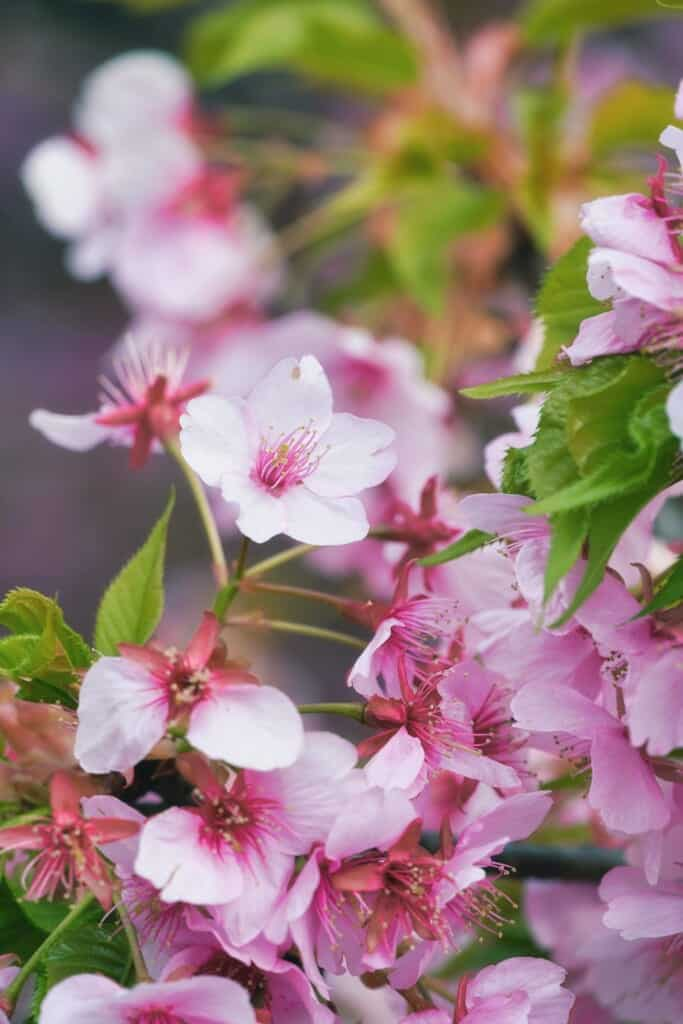 Details of the cherry flowers from Matsuda Cherry Blossom Festival