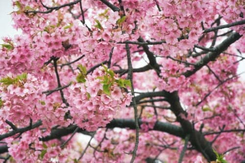 The outstanding leafiness of the Matsuda Cherry Blossom Festival's trees