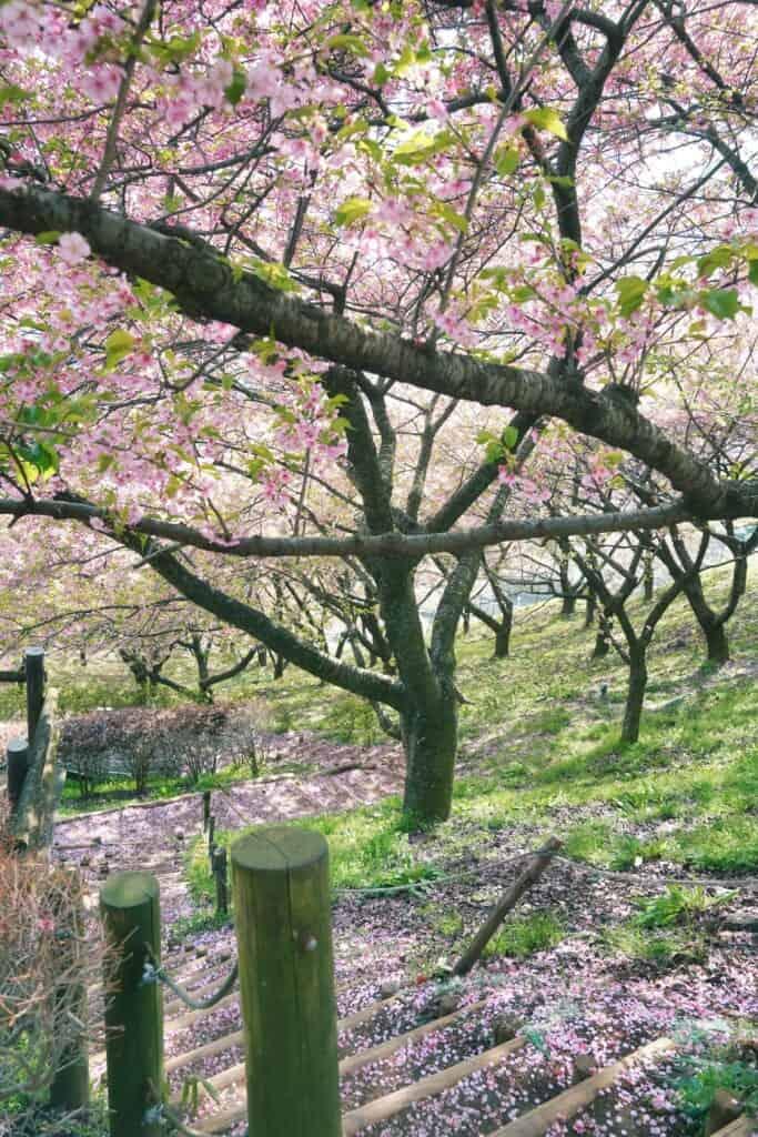 The sakura petal falling from the trees