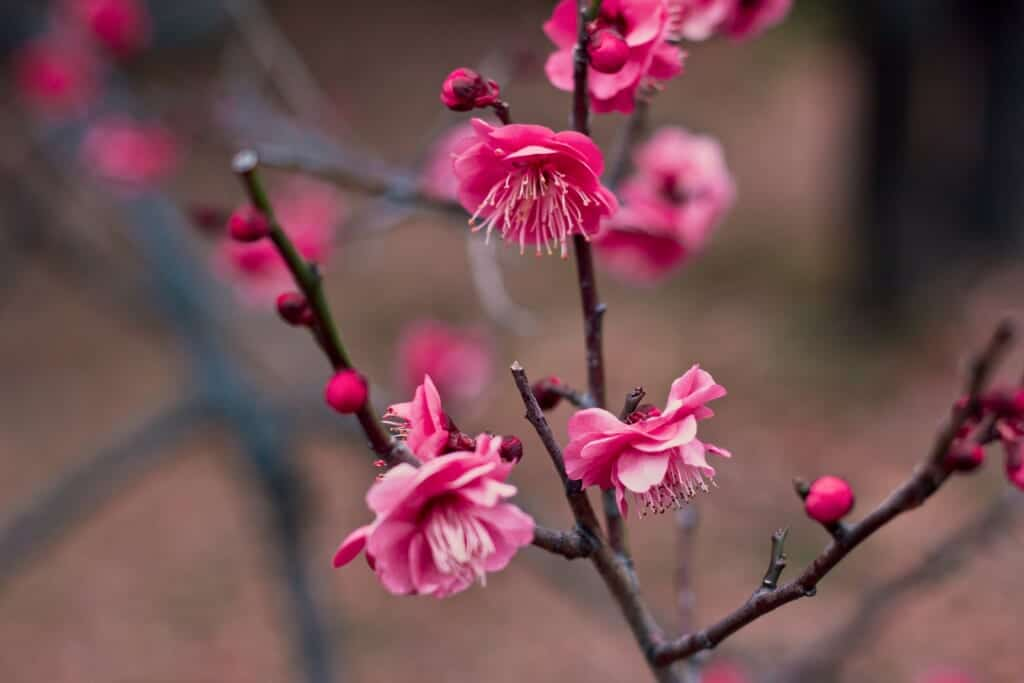 A beautiful pink ume blossom during spring in Japan