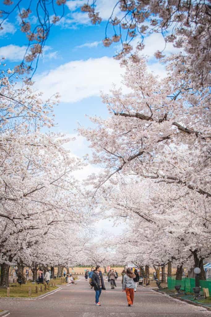 A park in Osaka filled with sakura trees