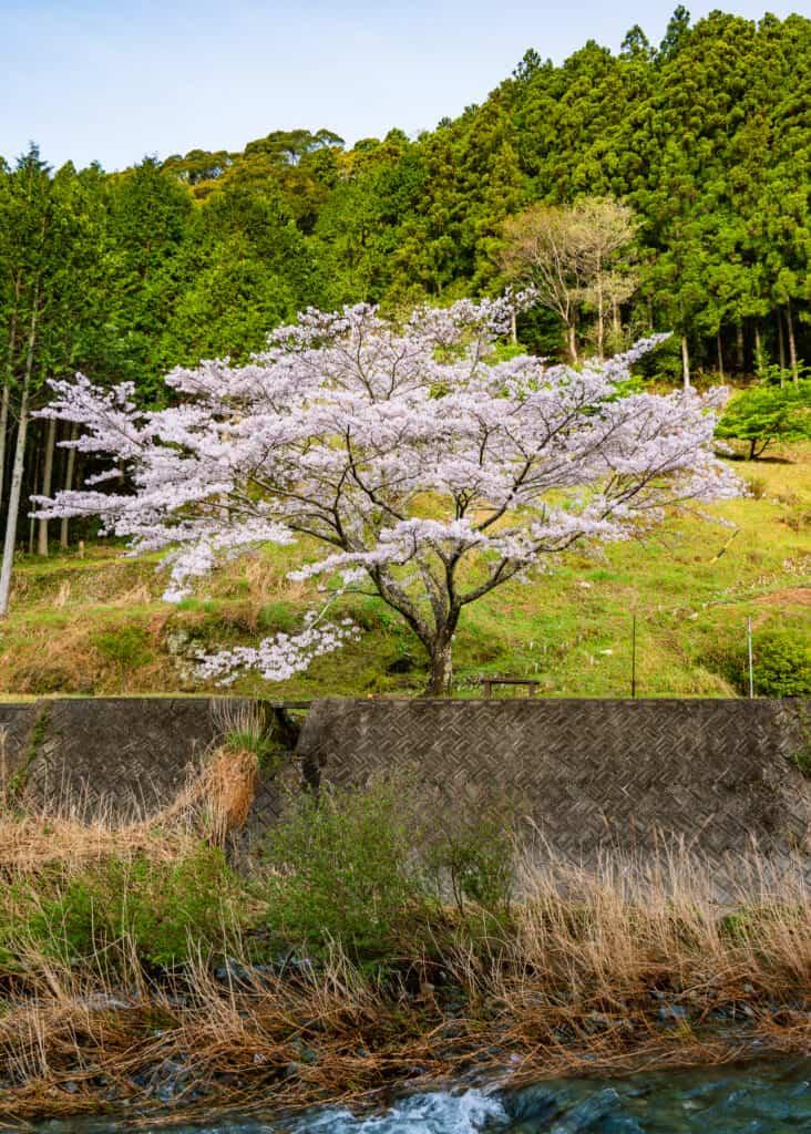 sakura bloom along atago river in hamamatsu near Tokyo