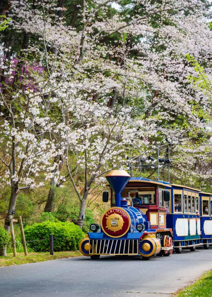 train with cherry blossoms hamamatsu flower park
