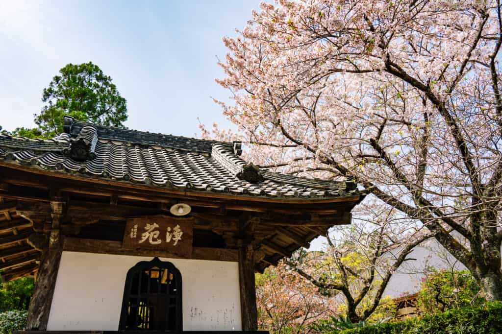 Japanese cherry blossoms at ryotanji temple hamamatsu near tokyo