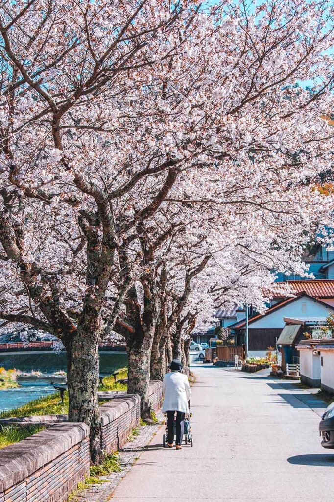 person walks by a row of sakura cherry trees in Japan