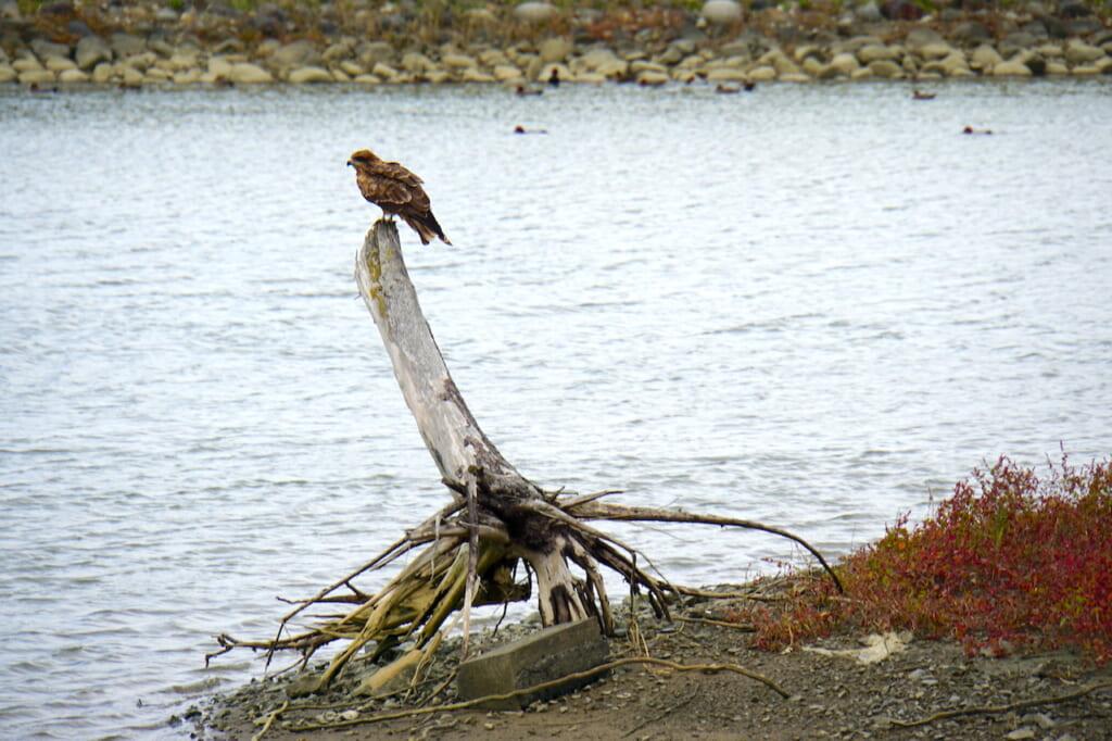 falcon perched on tree stump