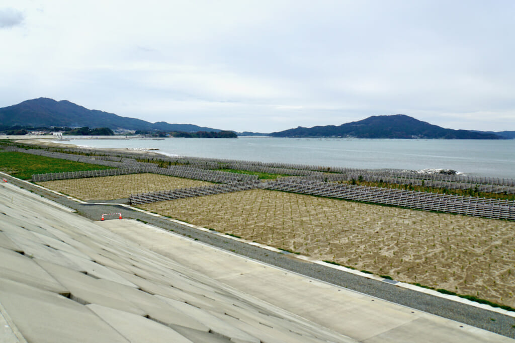 pine tree sprouts planted under seawall in Japan after the 2011 Tsunami