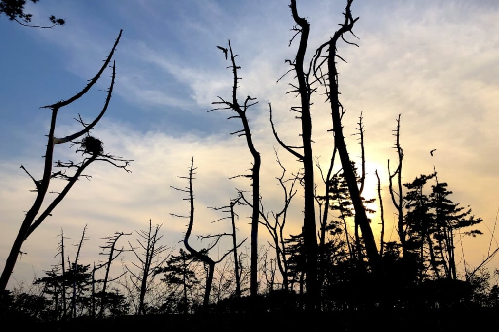 silhouettes of bare trees at dusk from the 2011 Japanese earthquake and tsunami