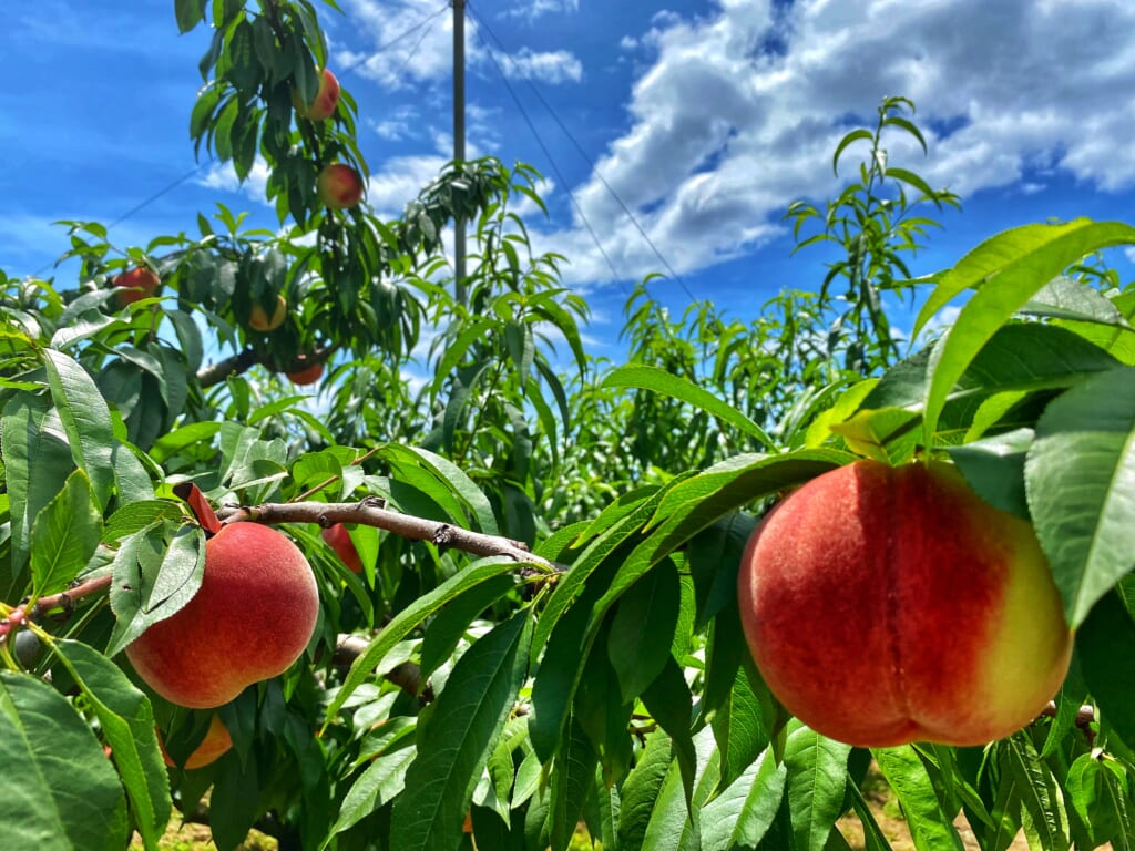 Misaka Farm Grape House and its delicious peaches for picking in Japan
