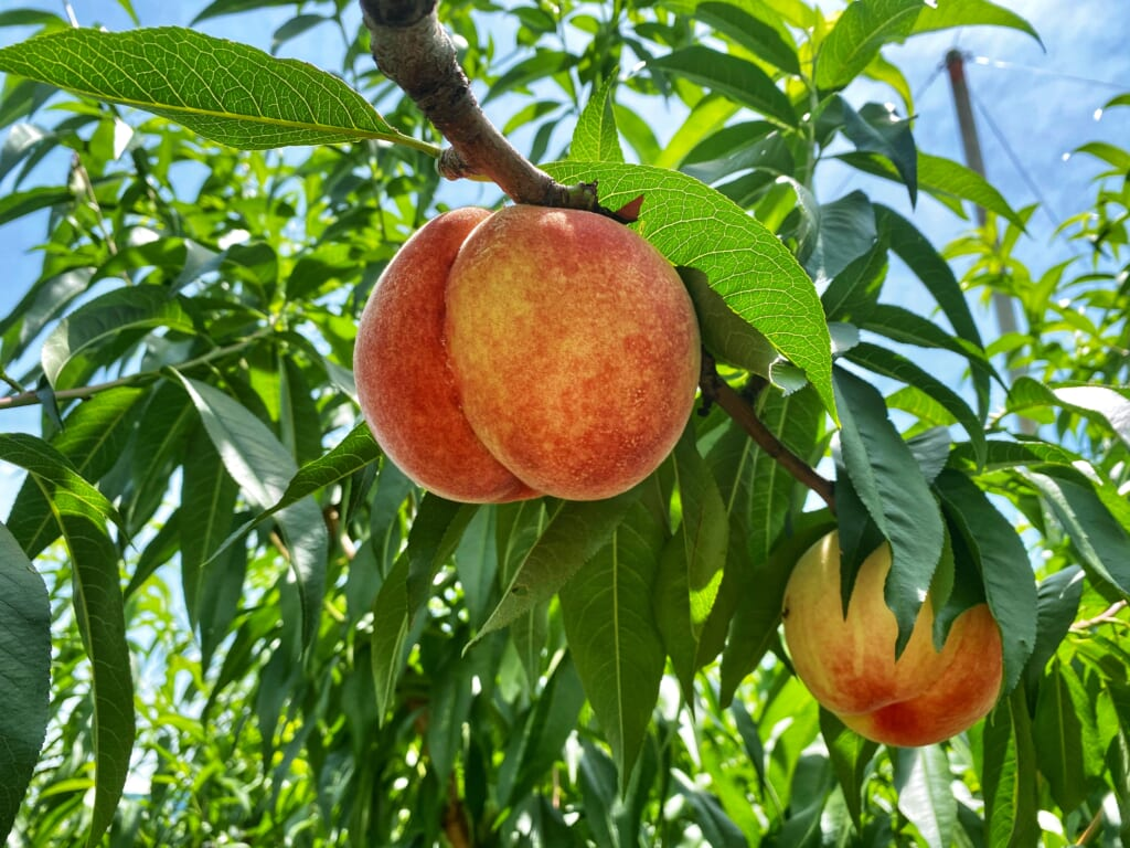 Colorful peaches from Misaka Farm Grape House