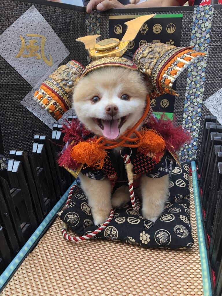 Even the cutest dogs can join the Shingen-ko festival in Japan