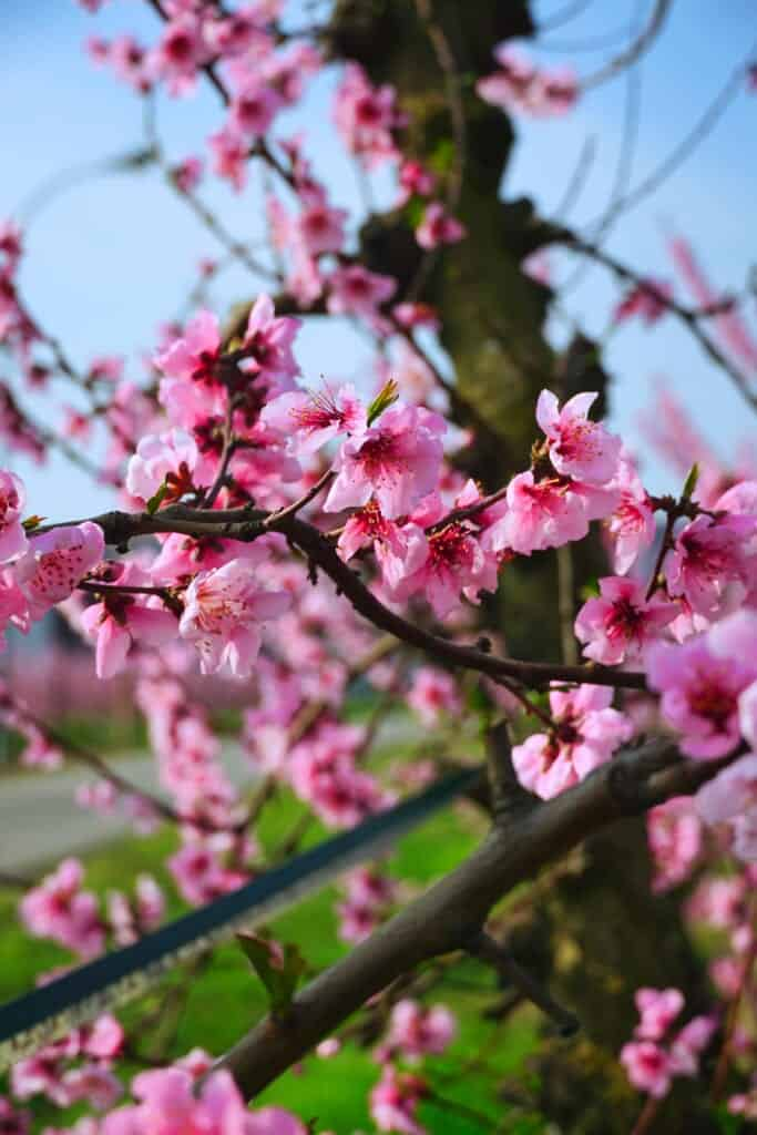 Peach flowers can have a variety of colors
