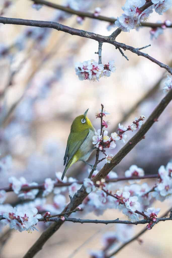 A mejiro bird in between some ume flowers