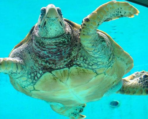 Bassin des tortues de l'aquarium Churaumi situé à Okinawa, sur l'île de Naha.