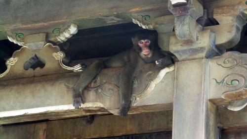 Singe dans un temple au parc aux singes de Takasakiyama, entre Beppu et Oita sur l'île de Kyushu