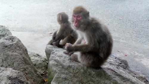 Macaques qui mangent au parc aux singes de Takasakiyama, entre Beppu et Oita sur l'île de Kyushu