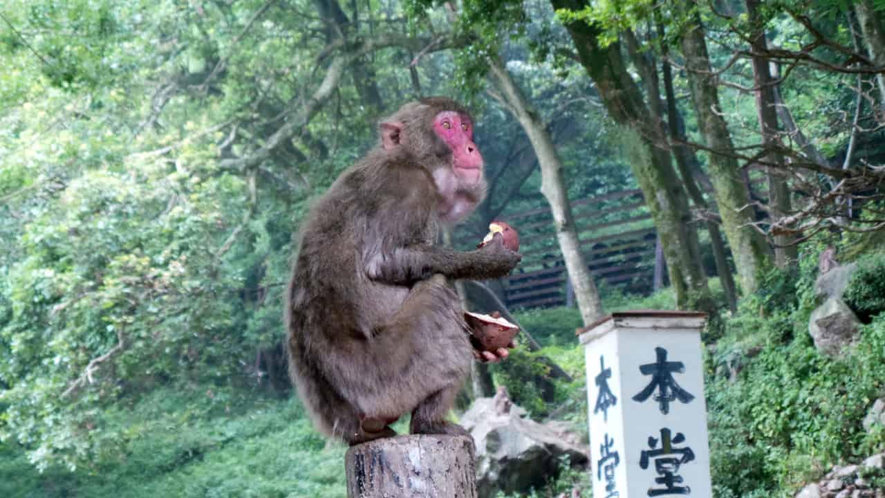 Entre Beppu et Ōita City : visite du parc aux singes de Takasakiyama