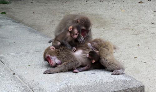Famille de singes au parc aux singes de Takasakiyama, entre Beppu et Oita sur l'île de Kyushu