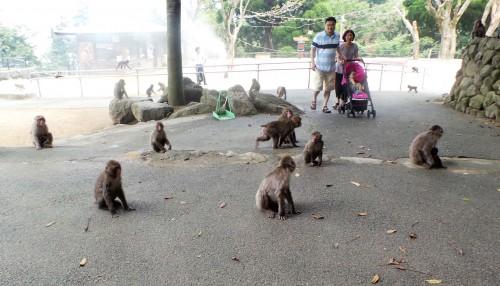 De nombreux singes au parc aux singes de Takasakiyama, entre Beppu et Oita sur l'île de Kyushu