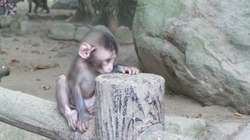 Bébé macaque au parc aux singes de Takasakiyama, entre Beppu et Oita sur l'île de Kyushu