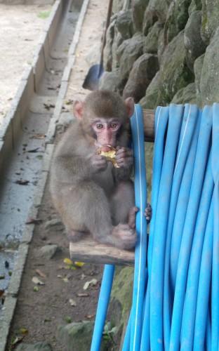 Singe mangeant de la patate douce au parc aux singes de Takasakiyama, entre Beppu et Oita sur l'île de Kyushu