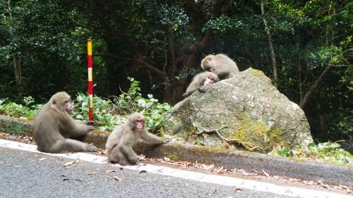 Macaques singes de Yakushima