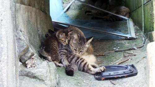 Chaton et sa maman chat sur l'île d'Ainoshima
